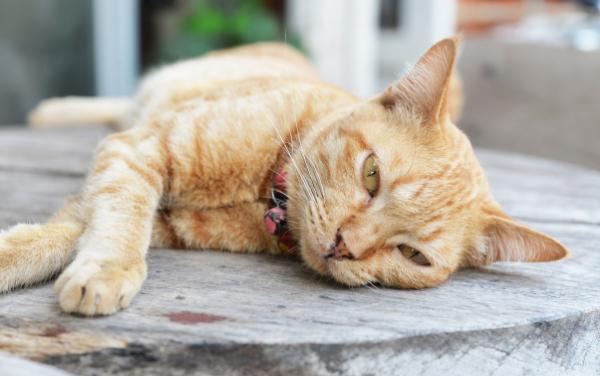 Liggende kat